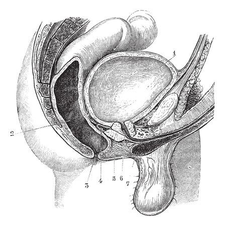 mediaan: Fig. 161. Basin man (anteroposterior gesneden, volgens de mediaan lijn), vintage gegraveerde illustratie. Magasin Pittoresque 1875.