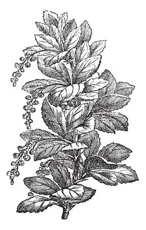Figue. 173. Berberis ou barberries ou buissons de Pepperidge, illustration vintage gravé. Magasin Pittoresque 1875. Banque d'images - 35462314