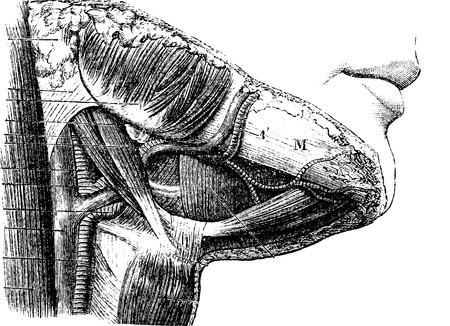Suprahyoid region, vintage engraved illustration. Usual Medicine Dictionary - Paul Labarthe - 1885. Illustration