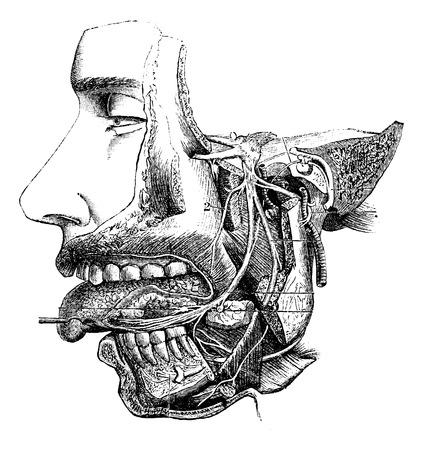 劣った上顎神経および枝、ヴィンテージの図は刻まれています。いつも使っている薬辞典 - Paul Labarthe - 1885