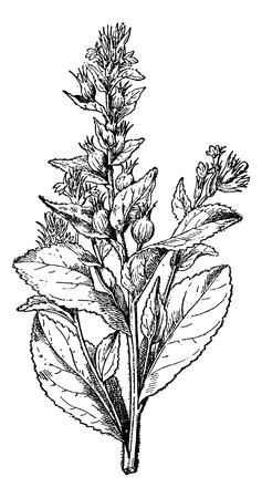 Lobelia swollen or Asthma weed or Barfweed or Indian Tobacco or Heaveleaf or Pukeweed or retchwort or fool's bane or Vomitwort, vintage engraved illustration. Usual Medicine Dictionary - Paul Labarthe - 1885.