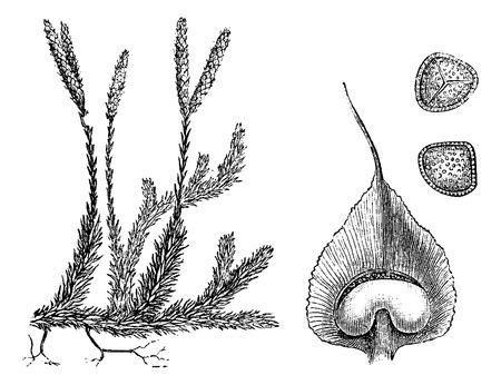 creeping: Lycopodium o tierra pinos o cedros Creeping, vintage, ilustraci�n, grabado. Usual Diccionario Medicina - Paul Labarthe - 1885.