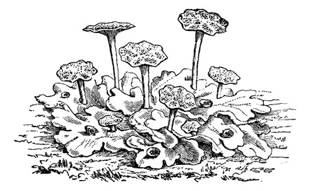 dioecious: Marchantia polymorpha male or common liverwort  or umbrella liverwort, vintage engraved illustration. Usual Medicine Dictionary - Paul Labarthe - 1885. Illustration