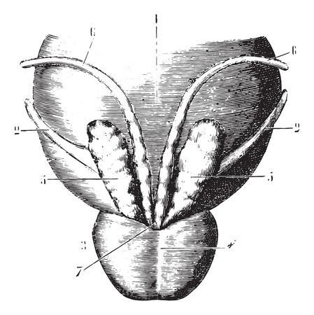 urethral: Seminal vesicles, prostate and posterior surface of the bladder, vintage engraved illustration. Usual Medicine Dictionary by Dr Labarthe - 1885. Illustration