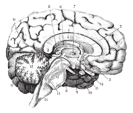 cerebro blanco y negro: Sección media y anterior-posterior del cerebro, cosecha ilustración grabada. Diccionario Usual Medicina por el Dr. Labarthe - 1885.