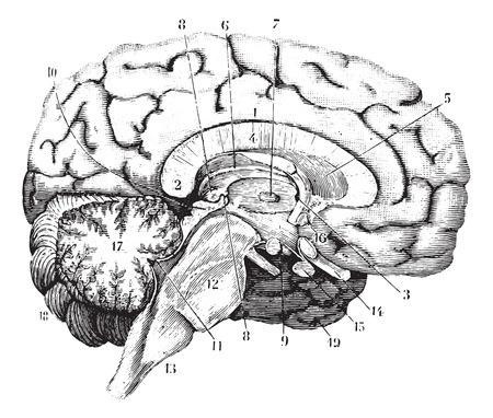 anatomie humaine: Section centrale et antéro-postérieure du cerveau, illustration vintage gravé. Dictionnaire de médecine d'habitude par le Dr Labarthe - 1885. Illustration