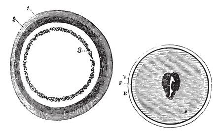 図 953。トレーニング胚盤葉、図 954。萌芽期のスポットの発症、ヴィンテージの図を刻まれています。いつも使っている薬辞典 - Paul Labarthe - 1885  イラスト・ベクター素材