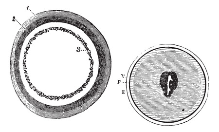 Fig. 953. Training blastoderm, Fig. 954. Onset of embryonic spot, vintage engraved illustration. Usual Medicine Dictionary - Paul Labarthe - 1885.