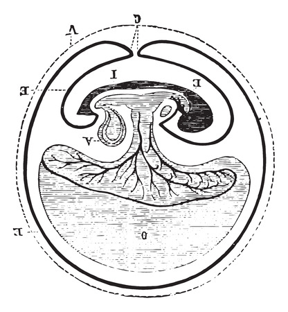Origin of allantoic, vintage engraved illustration. Usual Medicine Dictionary - Paul Labarthe - 1885. Illustration