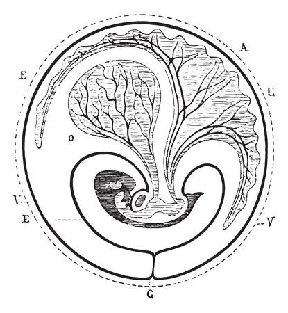 Progress of the allantoic decreased umbilical vesicle, vintage engraved illustration. Usual Medicine Dictionary - Paul Labarthe - 1885. 向量圖像