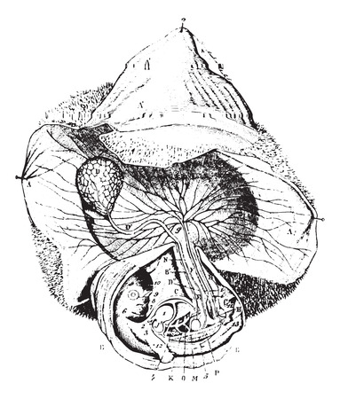 vesicle: Human Egg 30 to 55 days, vintage engraved illustration. Usual Medicine Dictionary - Paul Labarthe - 1885.