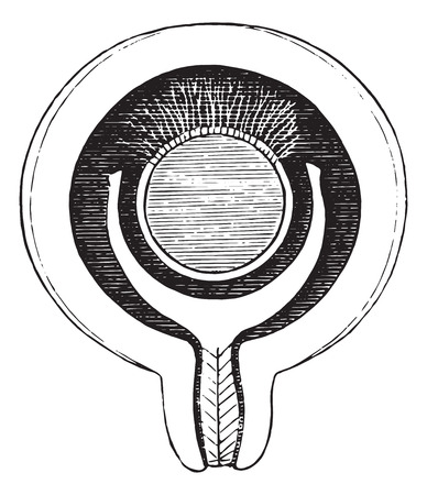 welded: Formation of the decidua, vintage engraved illustration. Usual Medicine Dictionary - Paul Labarthe - 1885.