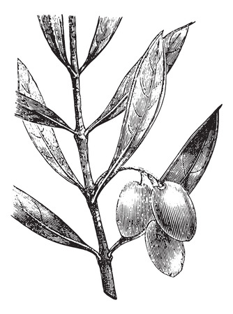olive branch: Olive branch with olives, vintage engraved illustration. Usual Medicine Dictionary - Paul Labarthe - 1885. Illustration