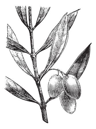 rama de olivo: Rama de olivo con aceitunas, cosecha ilustraci�n grabada. Usual Diccionario Medicina - Paul Labarthe - 1885. Vectores