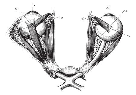 Optisch chiasma en oogspieren, vintage gegraveerde illustratie. Gebruikelijke Geneeskunde Woordenboek - Paul Labarthe - 1885.