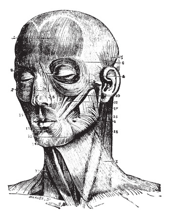 atrial: Muscles of the face, vintage engraved illustration. Usual Medicine Dictionary - Paul Labarthe - 1885.