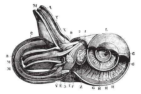내이. (컵 semi-circulairs 및 limacon 채널.), 빈티지 새겨진 된 그림입니다. 평소 의학 사전 - 폴 Labarthe - 1885. 일러스트