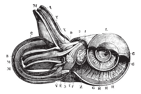 Inner ear. (Cup semi-circulairs and limacon channels.), vintage engraved illustration. Usual Medicine Dictionary - Paul Labarthe - 1885. Иллюстрация
