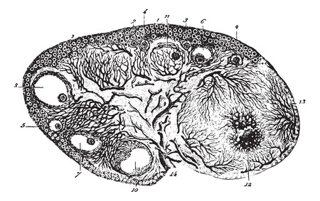 Cup ovary of a pregnant cat, vintage engraved illustration. Usual Medicine Dictionary - Paul Labarthe - 1885. Фото со стока - 35463516