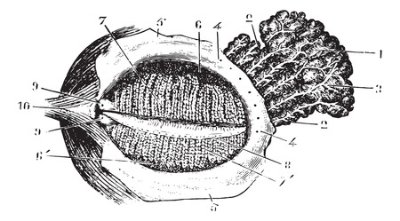Faced with deep eyelid lacrimal gland, vintage engraved illustration. Usual Medicine Dictionary - Paul Labarthe - 1885.