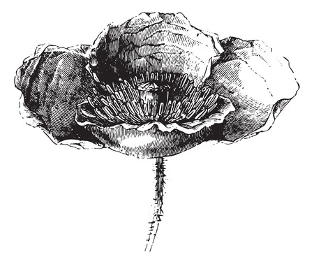 opium: Somnifere poppy (flower) or Opium poppy or Papaver somniferum, vintage engraved illustration. Usual Medicine Dictionary - Paul Labarthe - 1885.