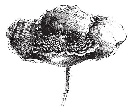 poppy flower: Somnifere poppy (flower) or Opium poppy or Papaver somniferum, vintage engraved illustration. Usual Medicine Dictionary - Paul Labarthe - 1885.