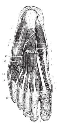 Oppervlaktelaag van de zool van de voet, na verwijdering van de huid, onderhuidse laag en fascia, vintage gegraveerde illustratie. Gebruikelijke Geneeskunde Woordenboek - Paul Labarthe - 1885. Stock Illustratie