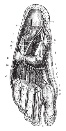 abductor: Deep plantar region, vintage engraved illustration. Usual Medicine Dictionary - Paul Labarthe - 1885.