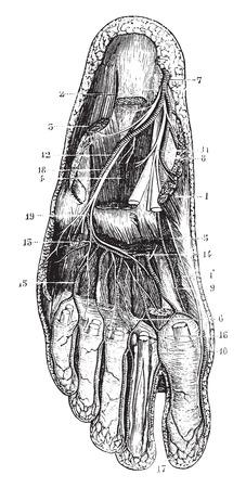 Diepe plantaire regio, vintage gegraveerde illustratie. Gebruikelijke Geneeskunde Woordenboek - Paul Labarthe - 1885. Stockfoto - 35464121