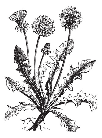 asteraceae: Dandelion or Taraxacum, vintage engraved illustration. Usual Medicine Dictionary by Dr Labarthe - 1885. Illustration