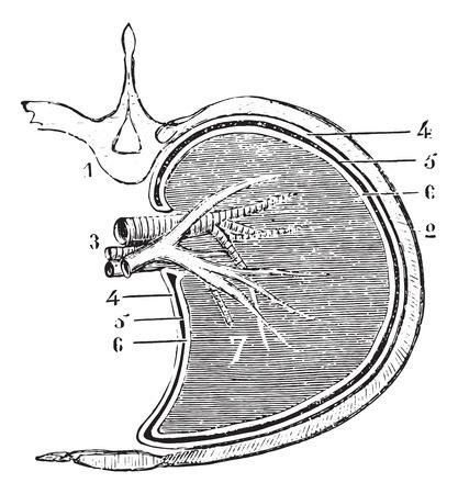 Horizontale gedeelte van de long en pleura (schematische afbeelding), vintage gegraveerde illustratie. Usual Geneeskunde Woordenboek door Dr. Labarthe - 1885.