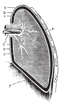Verticale gedeelte van de long en pleura (schematische afbeelding), vintage gegraveerde illustratie. Usual Geneeskunde Woordenboek door Dr. Labarthe - 1885.