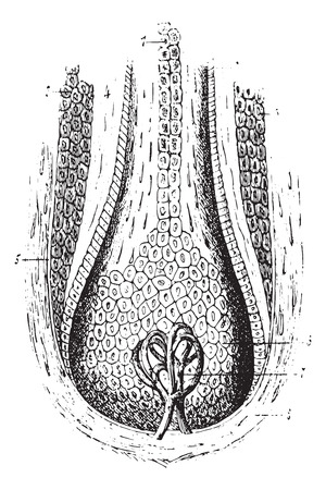 dermal: Section of a hair follicle, vintage engraved illustration. Usual Medicine Dictionary by Dr Labarthe - 1885.