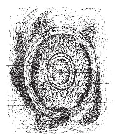 cortical: Section of a cilium and its hair follicles, vintage engraved illustration. Usual Medicine Dictionary by Dr Labarthe - 1885.