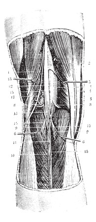 membrane: Popliteal region (left), vintage engraved illustration. Usual Medicine Dictionary by Dr Labarthe - 1885. Illustration
