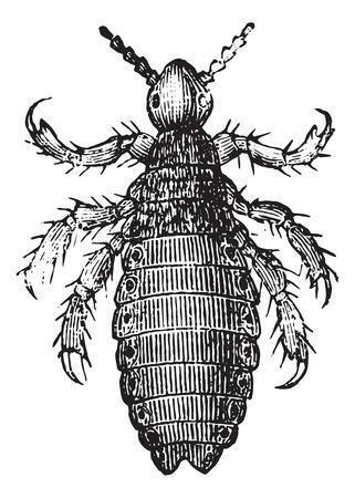 piojos: Los piojos o Pediculus humanus capitis o Pediculus capitis o piojo principal, añada una ilustración grabada. Diccionario Usual Medicina por el Dr. Labarthe - 1885.
