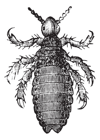 Head lice or Pediculus humanus capitis or Pediculus capitis or Head louse, vintage engraved illustration. Usual Medicine Dictionary by Dr Labarthe - 1885.