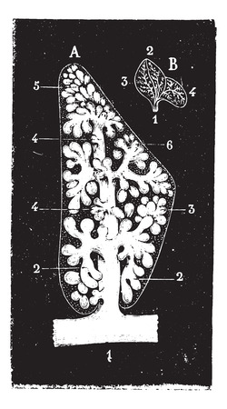 lobule: Pulmonary lobule, vintage engraved illustration. Usual Medicine Dictionary by Dr Labarthe - 1885.