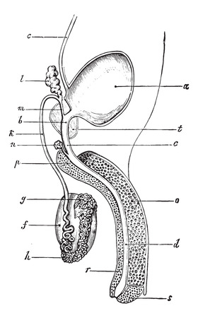 ejaculatory: Genital and urinary tract of man, vintage engraved illustration. Usual Medicine Dictionary by Dr Labarthe - 1885.
