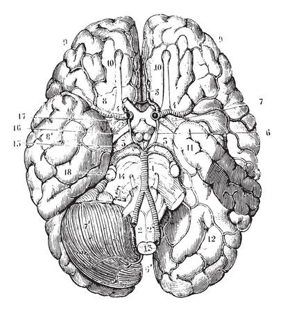 cerebro blanco y negro: Base del cerebro, cosecha ilustración grabada. Diccionario Usual Medicina por el Dr. Labarthe - 1885.