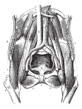 Pool wearing his soft parts, less the bladder, uterus and rectum, vintage engraved illustration. Usual Medicine Dictionary by Dr Labarthe - 1885.