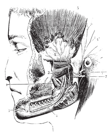Lateral pterygoid or External pterygoid, vintage engraved illustration. Usual Medicine Dictionary by Dr Labarthe - 1885.