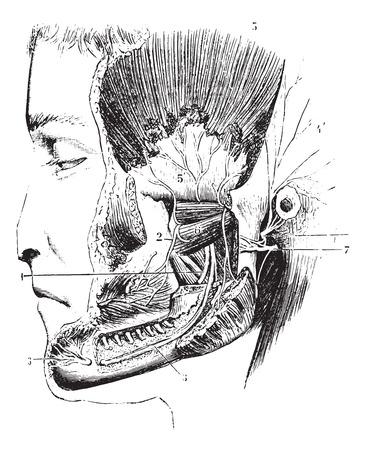 Laterale pterygoid of externe pterygoid, vintage gegraveerde illustratie. Usual Geneeskunde Woordenboek door Dr. Labarthe - 1885. Stock Illustratie