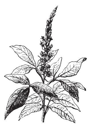 Quassia amara, cosecha ilustración grabada. Diccionario Usual Medicina por el Dr. Labarthe - 1885. Foto de archivo - 35464678