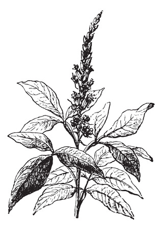 usual: Quassia amara, vintage engraved illustration. Usual Medicine Dictionary by Dr Labarthe - 1885. Illustration