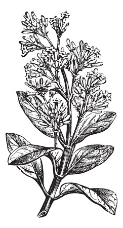 plantas medicinales: Calisaya Cinchona (poner fin a una rama florida), añada una ilustración grabada. Diccionario Usual Medicina por el Dr. Labarthe - 1885. Vectores