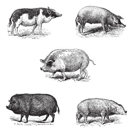 jabali: Cerdos 1. Pig Siam. 2. raza de cerdo Szalonta. 3. porcina York. 4. cerdo Essex. 5. cerdo raza normanda,
