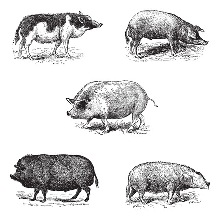 engraving: Pigs 1. Pig Siam. 2. Szalonta pig race. 3. Swine York. 4. Pork Essex. 5. Pork Norman race,