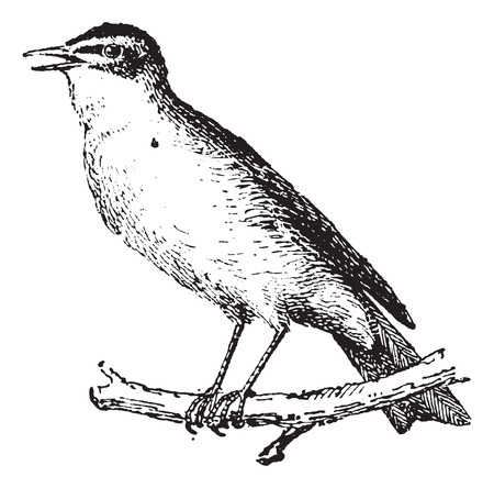 insectivorous: Warbler perched on branch, vintage engraved illustration. Dictionary of words  and things - Larive and Fleury - 1895.