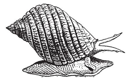共通のタマキビまたはウィンクル ツルニチニチソウ littorea ビンテージ図を刻まれています。辞書の単語との事 - Larive、フルーリ - 1895年。  イラスト・ベクター素材